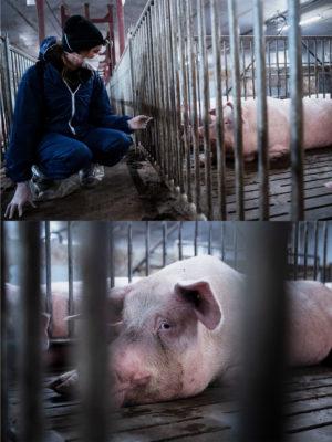 Schweinezucht in Deutschland